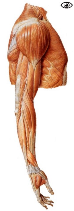 muscles of the arm and the hand - anatomical plates., Cephalic Vein