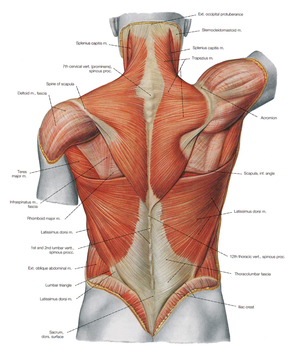 muscles of the back image collections - human anatomy reference, Human Body