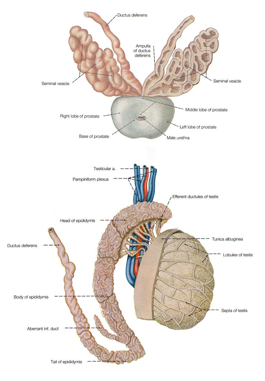 ampulla of ductus deferens