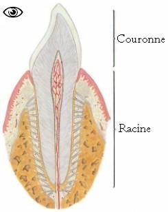 papilles caliciformes définition