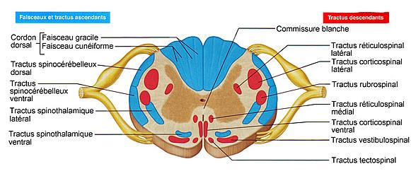 Moelle pini re origine des nerfs p riph riques - Coupe transversale de moelle epiniere ...