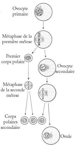 Formation des ovules